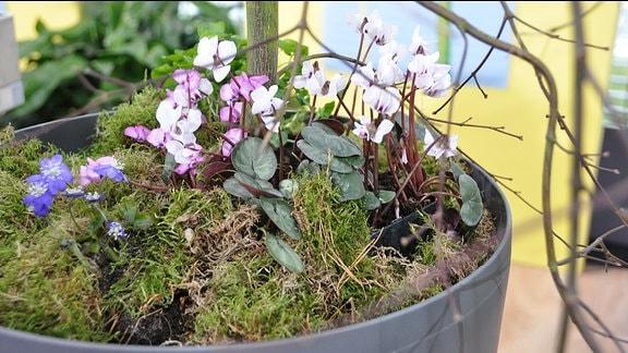 Frühblüher unter Strauch im Topf
