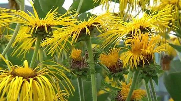 Gelbe Blüten vom Alant