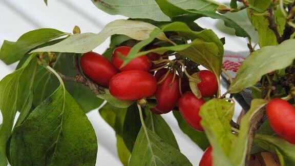 Ein Zweig mit Blättern und roten Früchten der Wildobst-Sorte Kornelkirsche