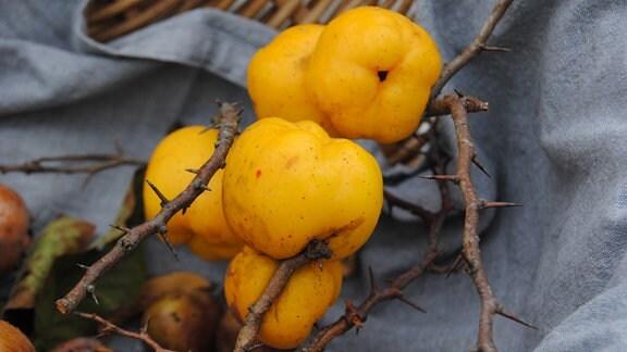 Gelbe Früchte der Wildobst-Sorte Quitte an einem Zweig in einem Korb