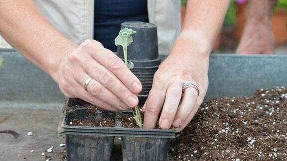 Ein Pelargonientrieb ohne Knospenansatz wird in Erde gesetzt.