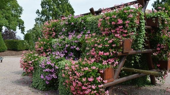 Auf einem zwei Meter hohen stufenförmigen Holzgestell wachsen Pelargonien.