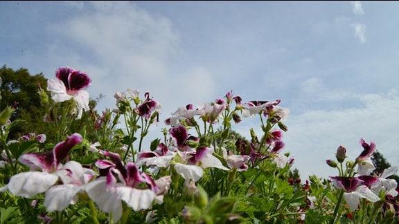 """Viele Pelargonien grandiflorum """"Costa Barcelona Black & White"""". Blüten vor blauem Himmel."""