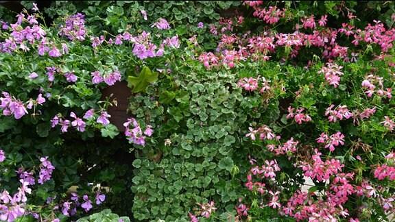 Zwischen verschiedenen Pelargonien wächst die Pflanze Gundermann mit ihren kleinen herzförmigen strukturierten grünen Blättern