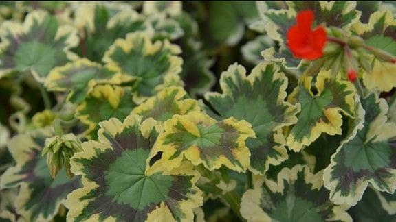 """Nahaufnahme eines Blattes der Pelargonie """"Mrs. Pollock. Besonders ist die Farbe. In der Mitte ist das Blatt grün, verlüft ins dunkle lila über grün bis zum hellen gelb am Rand des Blattes."""