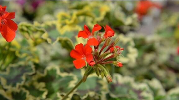 """Zarte aber rote Blüte der Pelargonie """"Mrs. Pollock"""""""