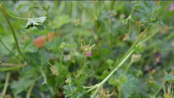 """Unscheinbare, winzig kleine rosarote Blüte der Pelargonie """"Coconut"""""""