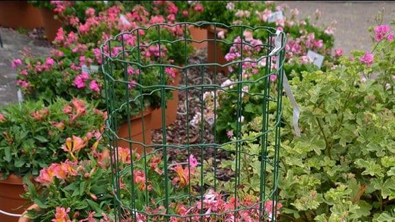 Pelargióniensprte mit rosafarbenen Blüten die an einem Drahtzylinder emporklettert.