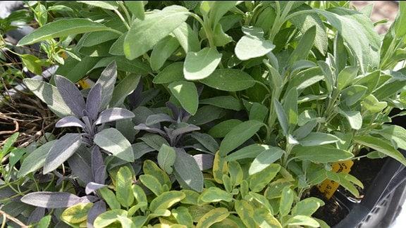 Verschiedene Salbeipflanzen im Topf.