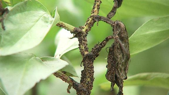 Blattläuse sitzen dicht an einem Stängel.