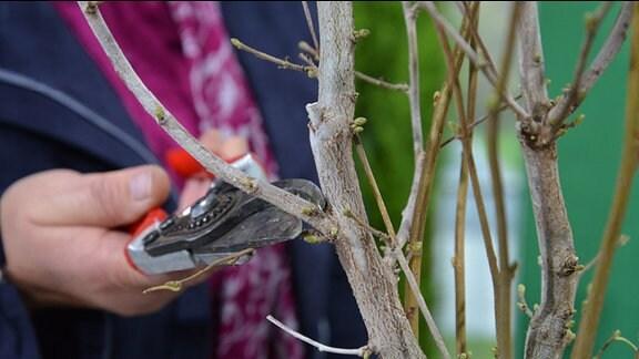 Seitentriebe eines Haselnuss-Gehölzes werden abgeschnitten