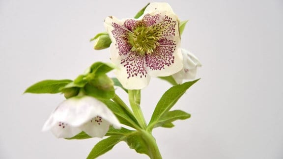 Weiße Lenzrose