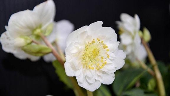 Weiße gefüllte Christrose
