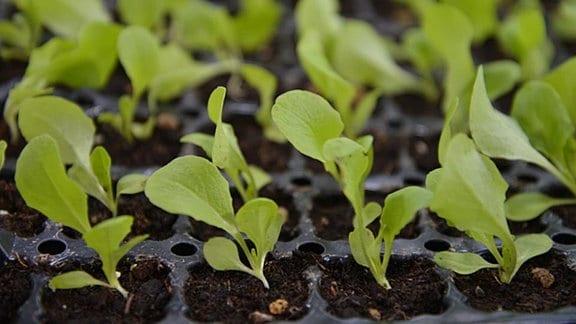 Junge Salatpflanzen