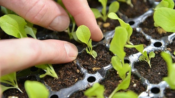 Schwache Salat Jungpflanze