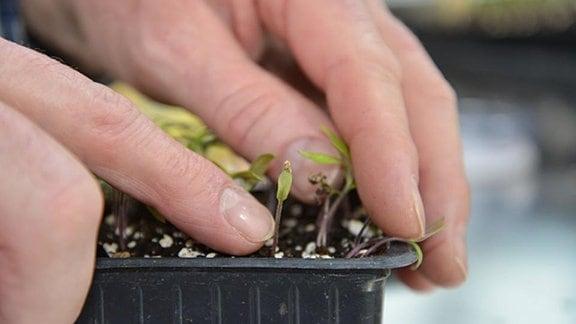 kleine Tomatenpflanze an der noch die Samenschale hängt