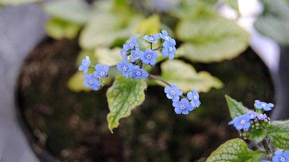 Nahaufnahme einer Blume mit zarten, hellblauen Blüten