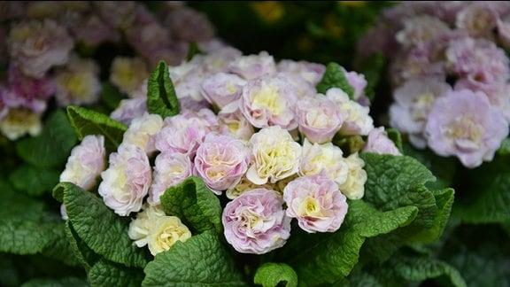 Rosarote gefüllte Primel