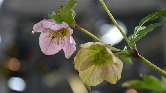 Lenzrose Blüte und Fruchtstand