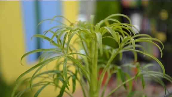 Pflanze NIeswurz