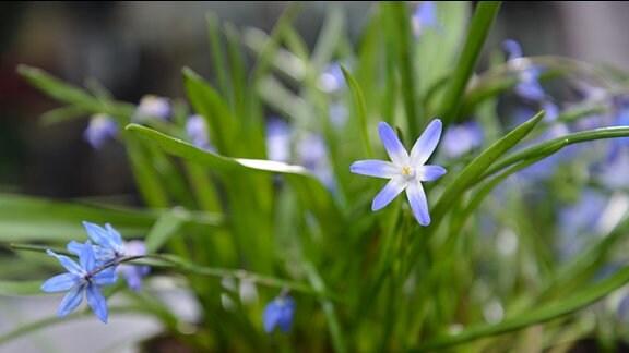 Blüten des der Sternhyazinthe