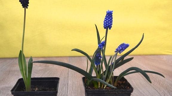 Zwei Traubenhyazinthen mit wenigen Blättern