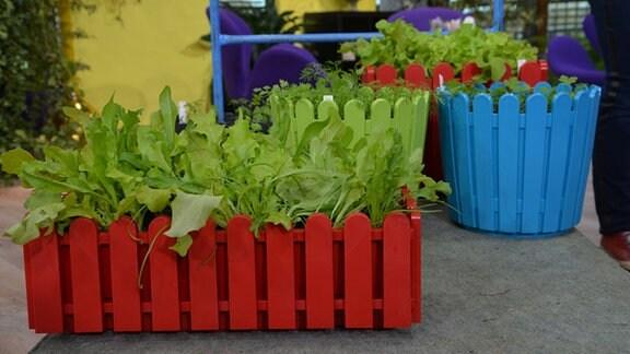 Junge Salatblätter sind in Blumentopf gewachsen