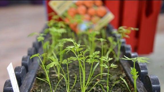 Junge Möhrenpflanzen im Blumentopf