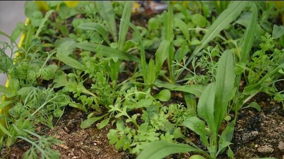 Jungpflanzen für Balkonkasten