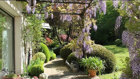 Blauregen wächst über ein Gestell vor einem Haus in einem Garten