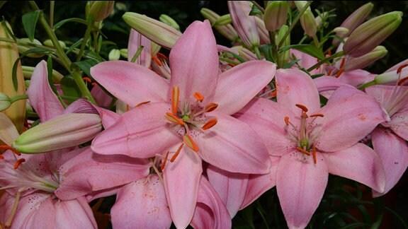 Pinke Lilienblüte