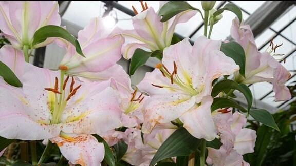 Viele weiße große Lilienblüten mit rosaroten Streifen im Blütenblatt