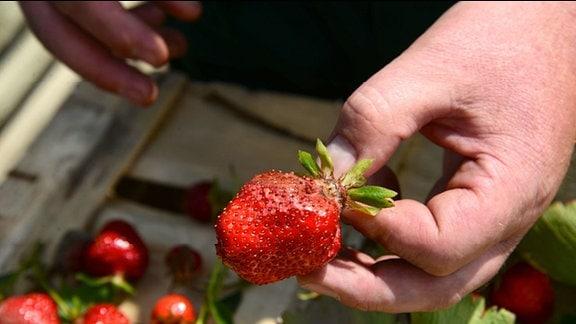 Erdbeere mit fauliger Stelle