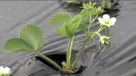 Schwarze Folie liegt um eine Erdbeerpflanze