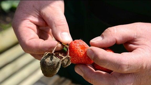 Graue mit Schimmel überzogene Erdbeere
