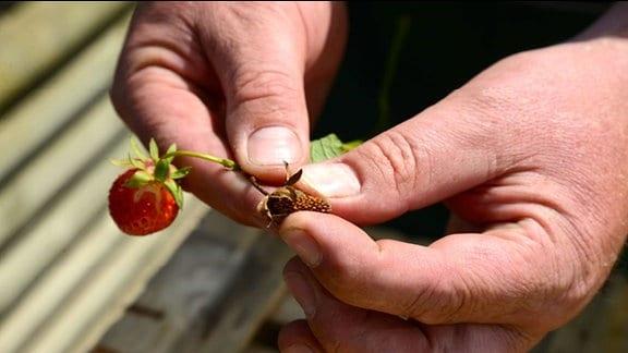 Verschrumpelte, kleine Erdbeere