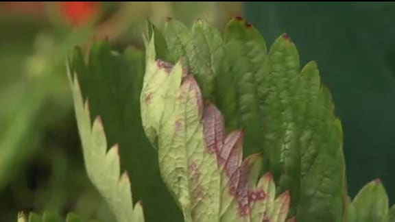 Eingerolltes Erdbeerblatt, das am Rand lila ist
