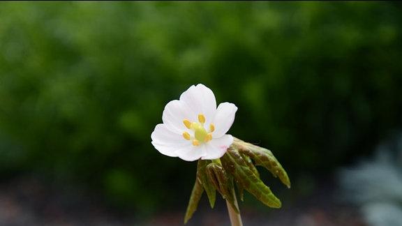 Weiße Blüte des maiapfels