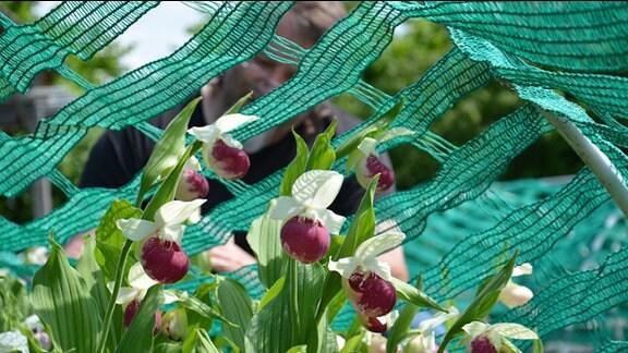 Netze liegen über Orchideen