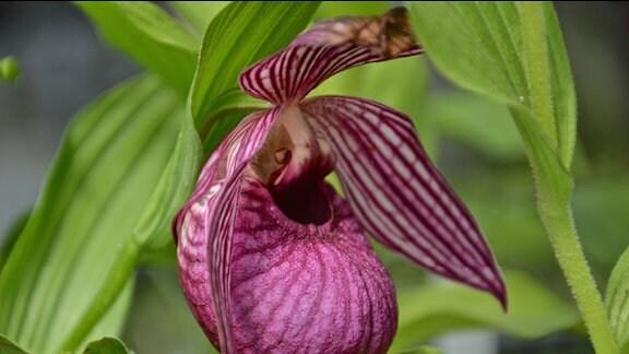 Wunderschöne lila Blüten einer Orchidee