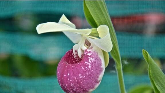 Blüte einer Orchidee