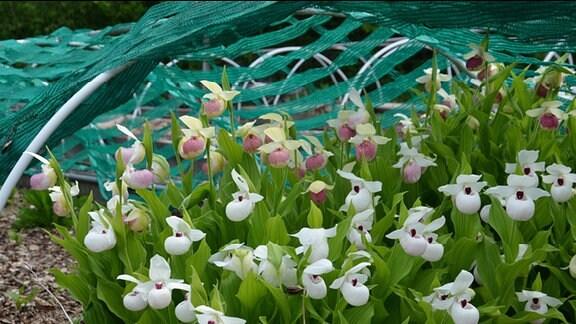 Verschiedene weiße Orchideen: Cypripedium-Sorten wachsen in Horsten