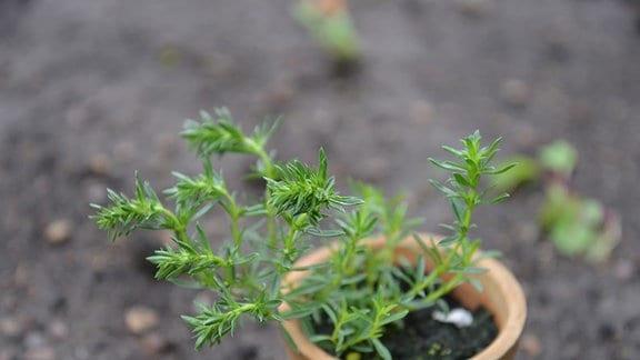 Bergbohnenkraut, kleine Pflanze