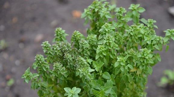 Hellgrüne basilikumpflanze die buschig wächst