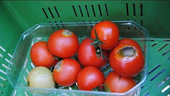 Eine Plastikschale mit Tomaten, die jeweils an der Unterseite kreisrunde, grün-graue Fäulnisstellen haben