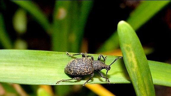 Bild eines schwarzen Käfers