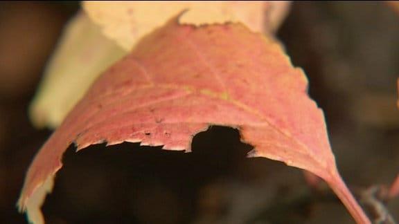 Angefressene Blätter