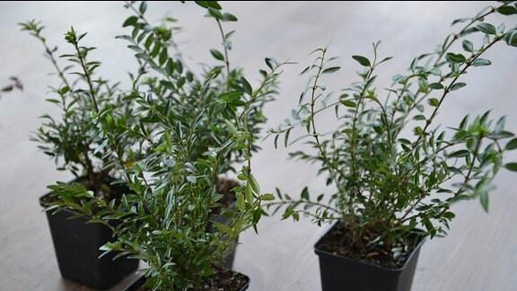 Drei Pflanzen im Topf