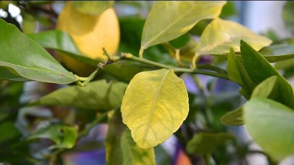 Auf einem gelben Blatt sind grüne Adern zu sehen