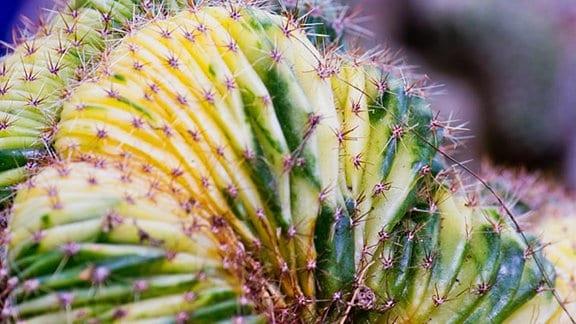 gelb gefärbter Kaktus
